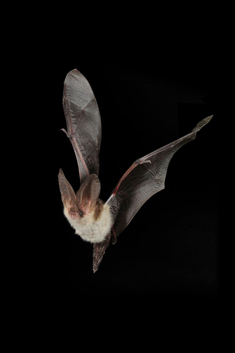 Der ANUAL lädt ein zu einem Bildvortrag über Fledermäuse am 28.8.2017