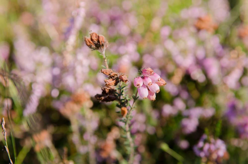 Am 5. August durch das Buchholzer Moor – wo die Heide blüht!