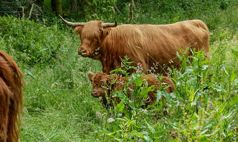 Pressebericht ANUAL | Schottische Hochlandrinder grasen am Wahler Bach