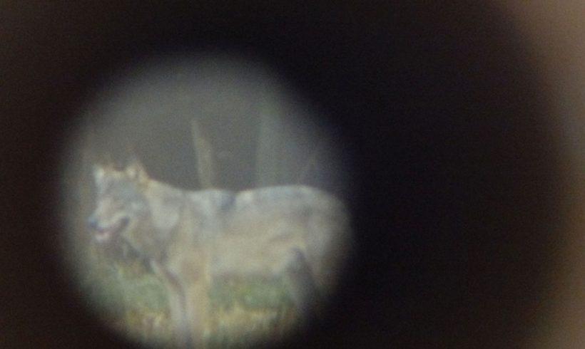 Wolf bei Neustadt/Wied gesichtet