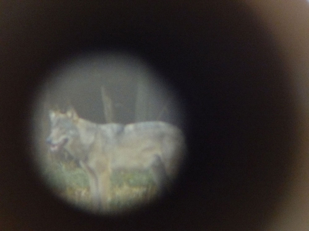 wolf-im-westerwald