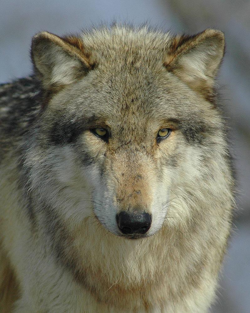 Vortrag »Wölfe im Kreis Neuwied«