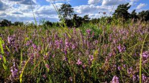 Heide - Foto: Patrick von Lovenberg
