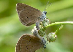 Ameisenbläulinge bei der Paarung (Foto: Brigitte Schmälter)